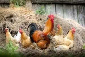 Hühnerfutter ist entscheidend