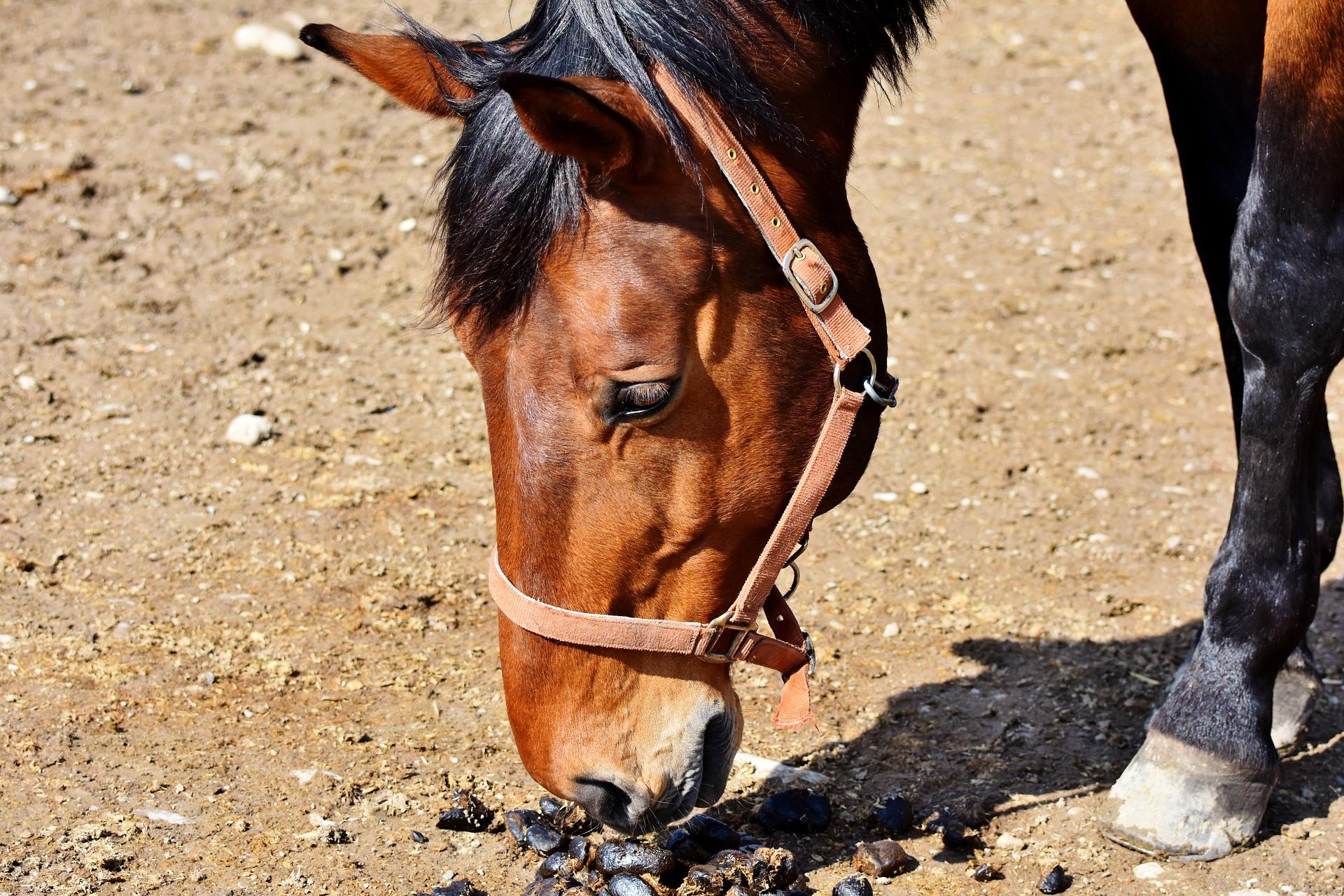 Wurmkur beim Pferd