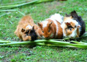 Gesunde Ernährung von Kaninchen und Meerschweinchen